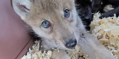 Wolf Pup Pair Prepares for Public Debut
