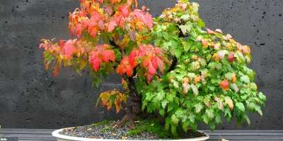 Bonsai Trees at NC Arboretum Show Fall Color First