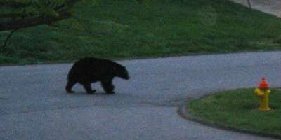 Black Bear Sighting in Asheville
