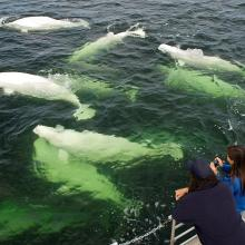 A Natural Phenomena: 3,000 Beluga Whales during Churchill Nature Tour