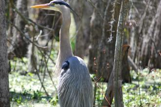 Honey Island Swamp - Blue Heron
