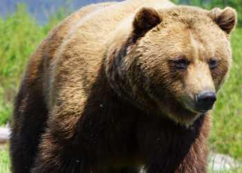 A brown bear lumbers through tall grass