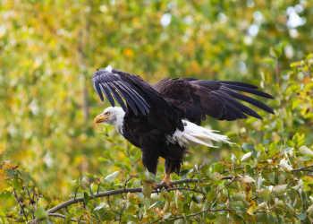 Bald eagle Alaska wildlife in Anchorage