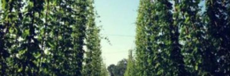 Michigan Hops