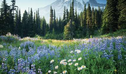 Mount Rainier with Field of Wildflowers