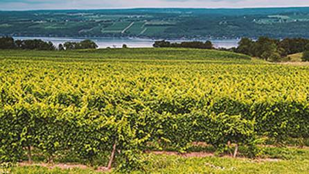 Vineyard on Seneca Lake