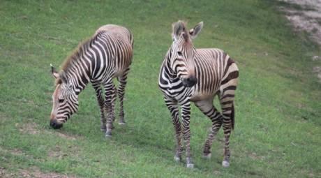 Elmwood Park Zoo - Zebras