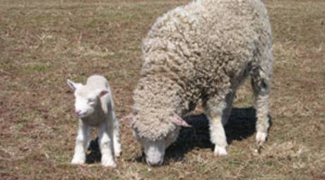 SPRING FESTIVALS - SHEEP SHEARING DAY