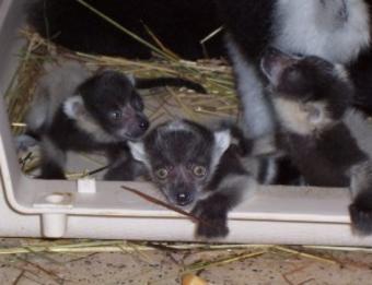 Binder Park Zoo Lemurs