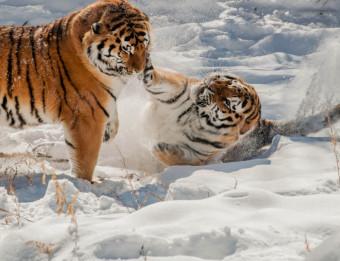 John Ball Zoo Tigers