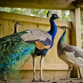 Andalusia's Peacocks