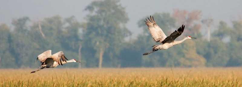 Sandhill Cranes Migration