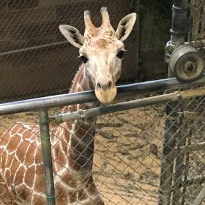 Frances the Giraffe