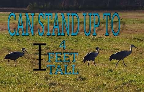 Sandhill Cranes Fall Migration