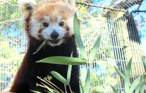 Mill Mountain Zoo - Red Panda