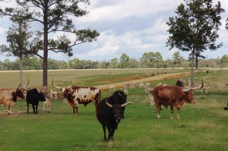 African Watusi herd at Global Wildlife Center