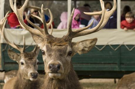 European Red Deer at Global Wildlife Center