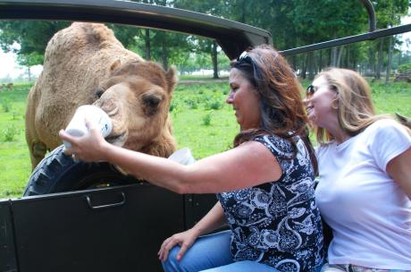 Visitors feeding camel at Global Wildlife Center