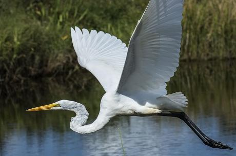 Great Egret Big Branch Marsh NWR