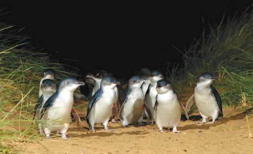 Little Penguins, Phillip Island Nature Parks