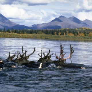 Kobuk river Caribou swimming