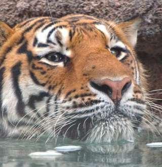 Big Cats at Utah's Hogle Zoo