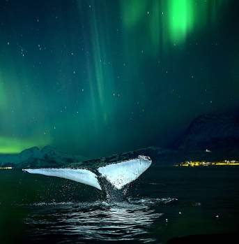 Whale Northern Norway