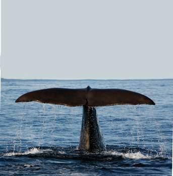 Hvalsafari Andenes offers whale safaris in Vesterålen