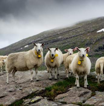 #Sheepwithaview