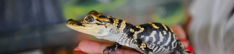 outdoor-recreation/alligators/gators-vs-crocs Gato