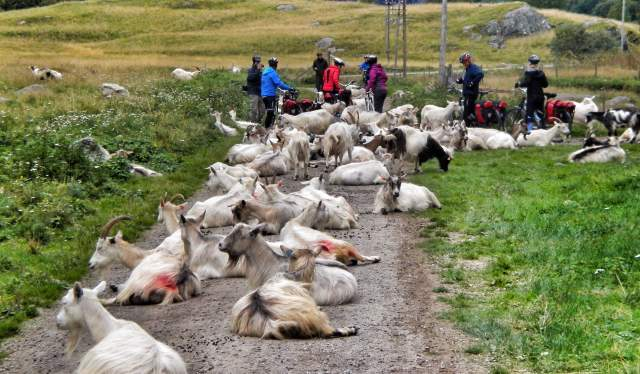 Goats resting at Rallarvegen