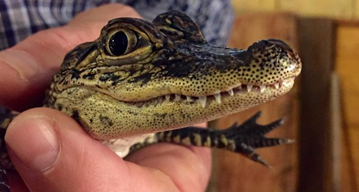 Get up close at gator country in beaumont texas for Downtown motors beaumont texas