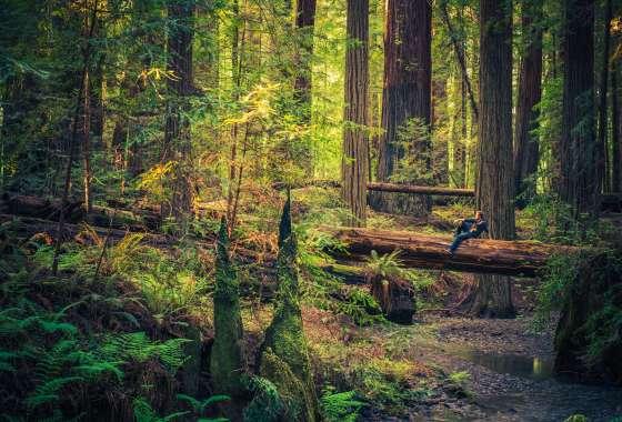 About Coastal Redwoods