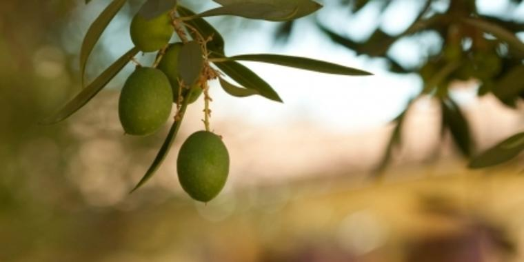 olives_juicemedia photo credit
