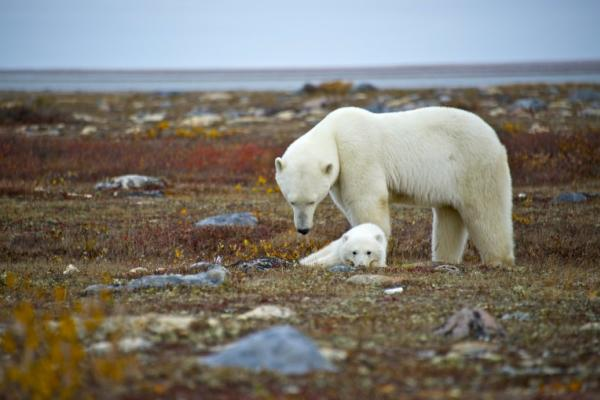 Polar bear and cub on the tundra