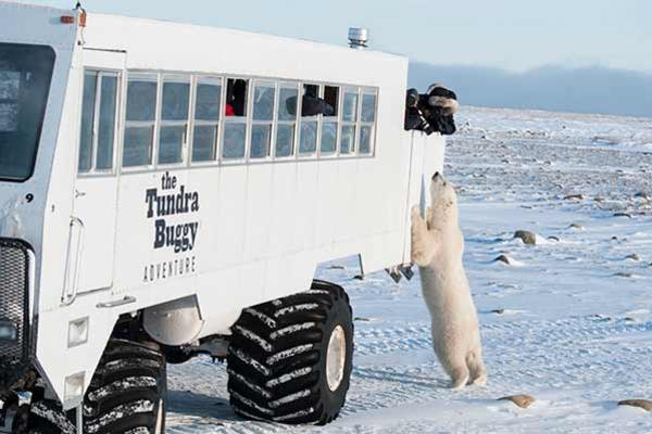 Polar bear checking out the Tundra Buggy in Churchill