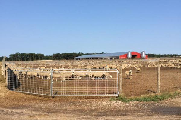 Flock of sheep with barn in the background