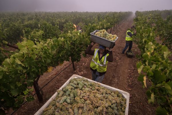Harvest workers bring in Napa Valley grapes