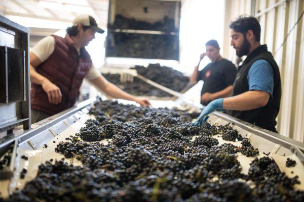 Harvest workers sort grapes