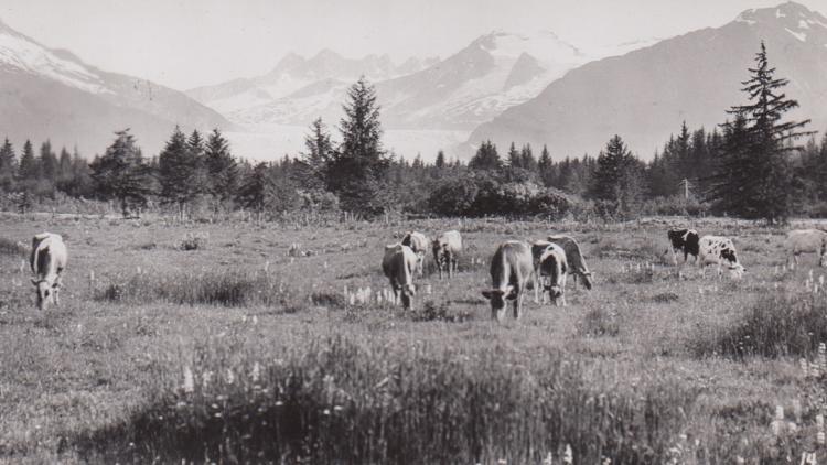 Cows on Glacier Highway