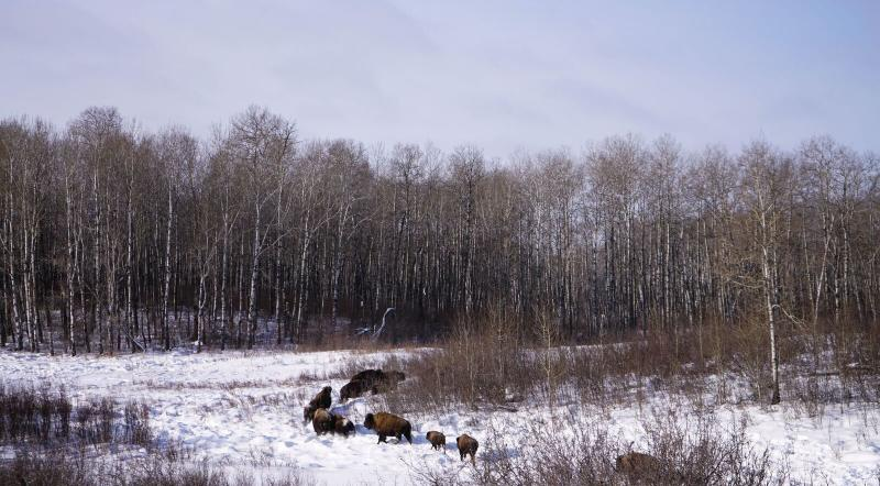 Bison herd in the snow with trees in the background at Lake Audy Bison Enclosure in Riding Mountain National Park