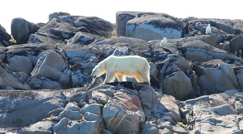 Polar bear summer Churchill