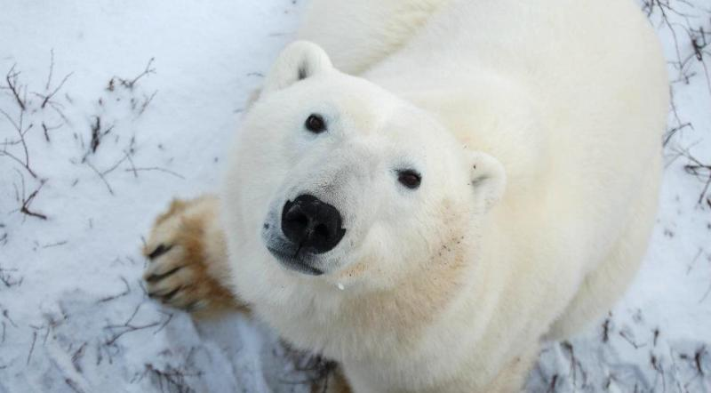polar-bear-dene