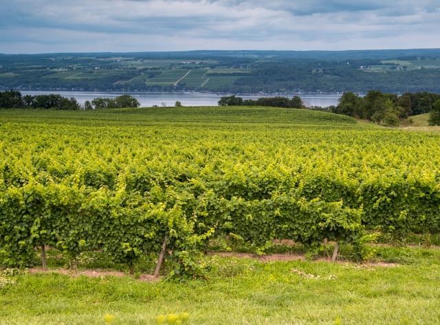 Vineyard at Lakewood Vineyard on Seneca Lake