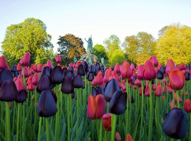 Washington Park tulips and King Memorial Fountain