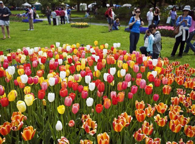 TulipFest Albany 101 ...