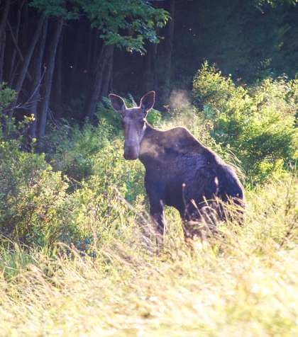 Maine Moose in Field