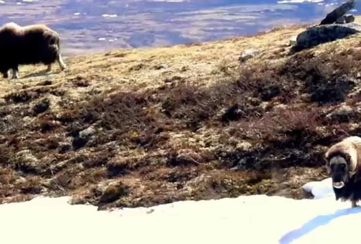 Musk ox fight in Dovrefjell, with Oppdal Safari