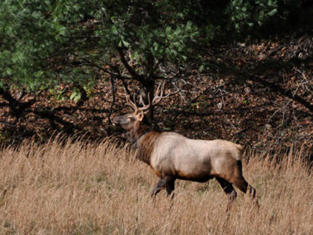 Elk in the Fall