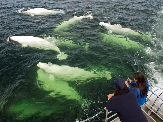 A Natural Phenomena: 3,000 Beluga Whales during Churchill Nature Tour